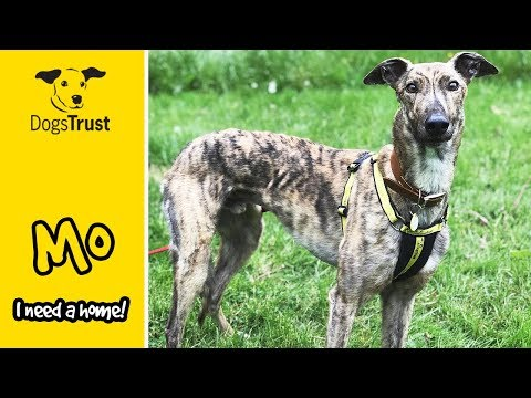 Mo the Beautiful Brindle Greyhound is Searching for His Forever Home! | Dogs Trust Ilfracombe