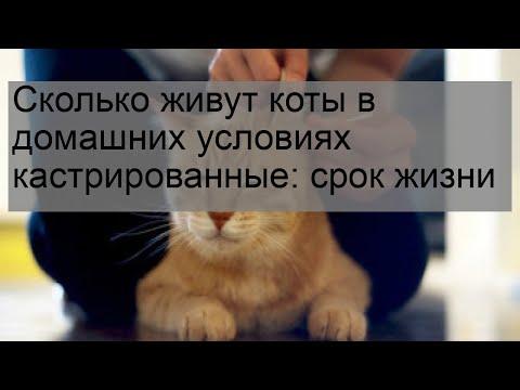 Коты британцы сколько живут кастрированные коты в домашних условиях
