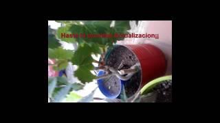 Germinar Semillas de Uva Siembra directa y estratificada ACTUALIZACION 2  Grape seeds