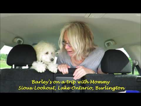 Barley's training for the 2020 Dog Olympics 2018-09-08
