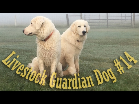 Livestock Guardian Dog Series - Video #14 - Large Breed Food Selection/Grading
