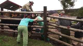 Assisted Calving (Dystocia) Video
