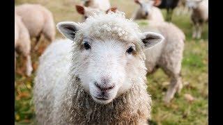 Овцеводство как бизнес для начинающего фермера / Разведение овец в домашних условиях