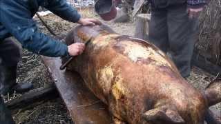Traditii romanesti. Taierea porcului