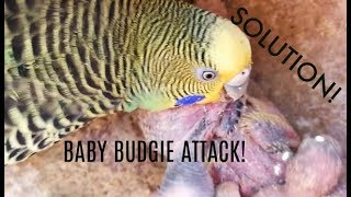 Why is the mother budgie attacking her babies| How to stop them from biting their own babies?