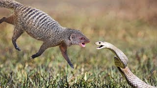 Top 5 Snake fighting with Mongoose | One of the best Animals Fighting In Wild