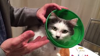 The SmartPractice Soft Paws ECollar for Cats Protects Cats with Comfort