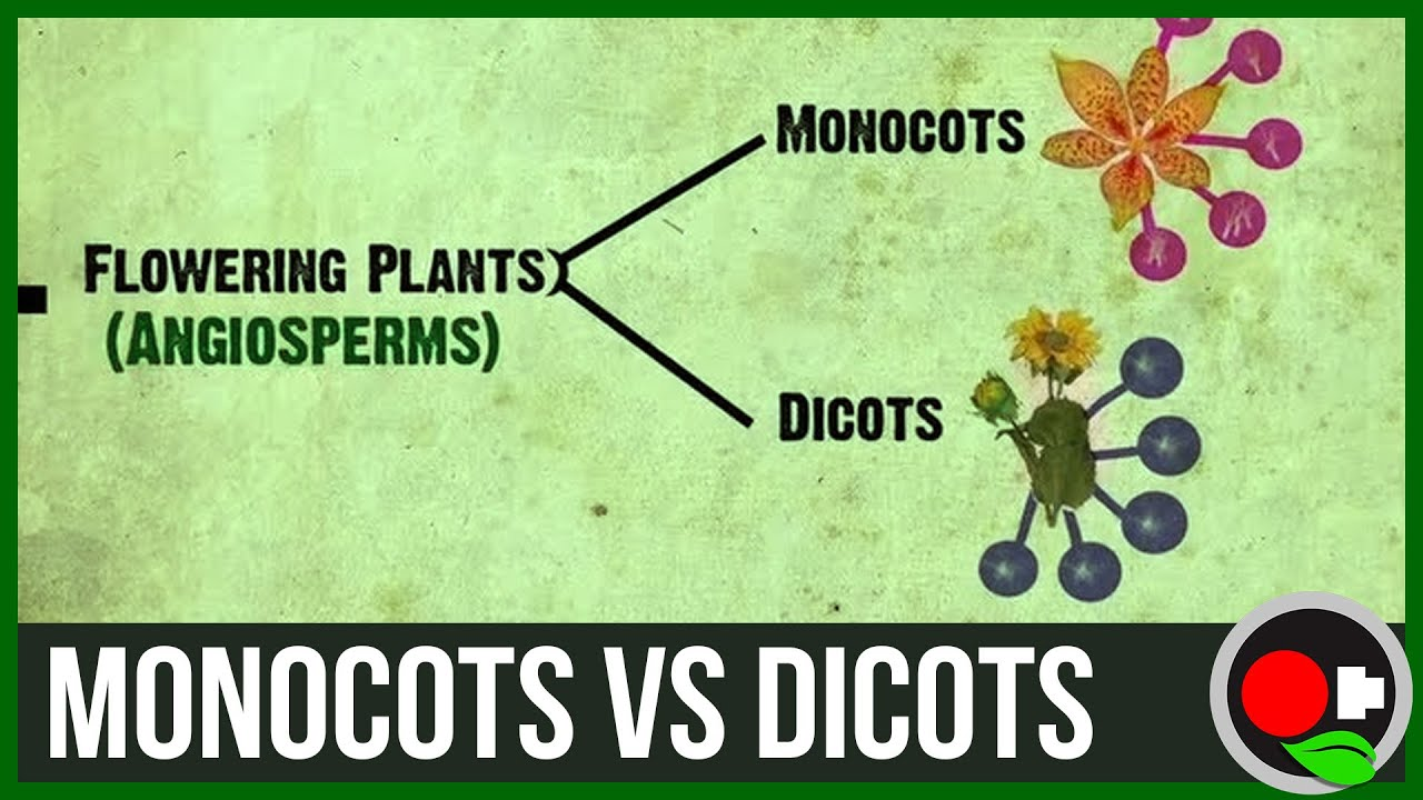 hight resolution of monocots vs dicots explained