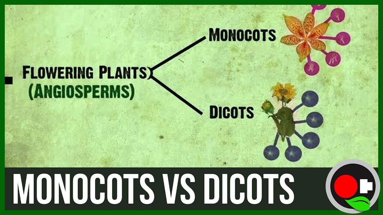 medium resolution of monocots vs dicots explained