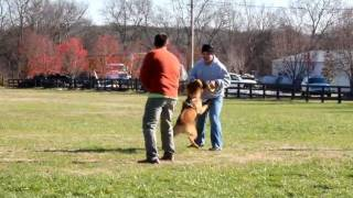 Midsouth Working K9 Association Spring Hill Tennessee, Schutzhund Training