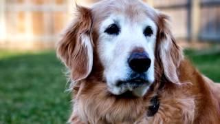 Порода собак. Гладкошерстный ретривер. Элегантная,озорная,энергичная и очень умная собака