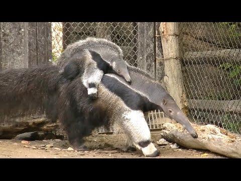 アリクイの赤ちゃん part1 (生後3ヶ月半) / 東山動物園