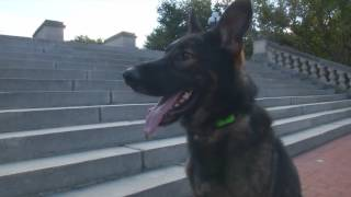 "Affordable Home Raised Personal Protection Trained Dog ""crixus"" For Sale"