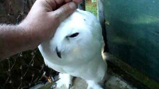 Snowy Owl Progress