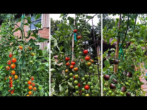 Top 3 Cherry Tomatoes You NEED to Grow!