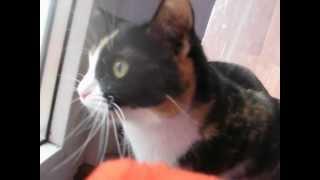 видео Трехцветная кошка