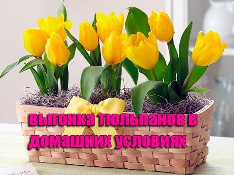 Выгонка тюльпанов к 8 марта в домашних условиях!