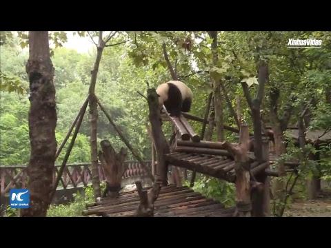 LIVE: UNDP's first panda ambassadors celebrate 2nd birthday