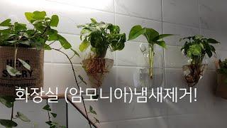 싱고니움활용/욕실(암모니아) 냄새제거/ 편안함/휴식이 …