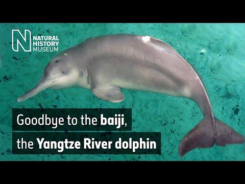Goodbye to the baiji, the Yangtze River dolphin | Natural History Museum