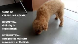 Neurological Disease.  Cerebellar Ataxia In An Older Poodle