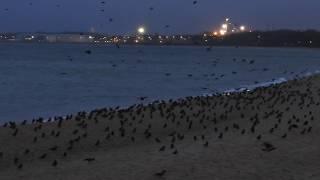 Sztorm na Bałtyku -stado ptaków znalazło miejscówkę na plaży.