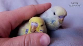 📚 🐤 Явные отличия восковицы самца и самочки || Птенцов волнистого попугая 🏡 Тишка и Феня на даче