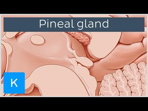 Pineal gland (glandula pinealis) - Human Anatomy |Kenhub