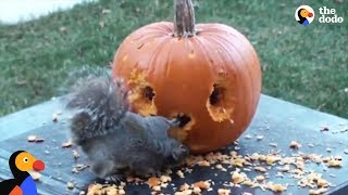 Squirrel Carves His Own Pumpkin | The Dodo