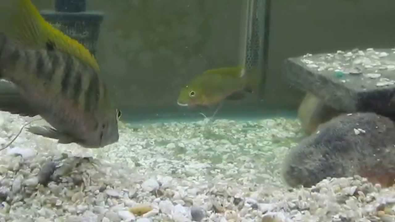 Tilapia Bythobates Free Swimming Fry And Parents Youtube