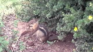 Golden-mantled ground squirrel - Flagstaff Arboretum