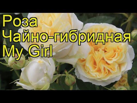 Роза чайно-гибридная Май герл. Краткий обзор, описание характеристик, где купить саженцы My Girl