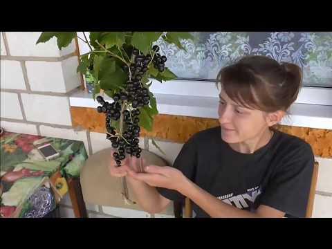 СЕЛЕЧЕНСКАЯ-2 -  сладкий сорт смородины  раннего срока созревания.