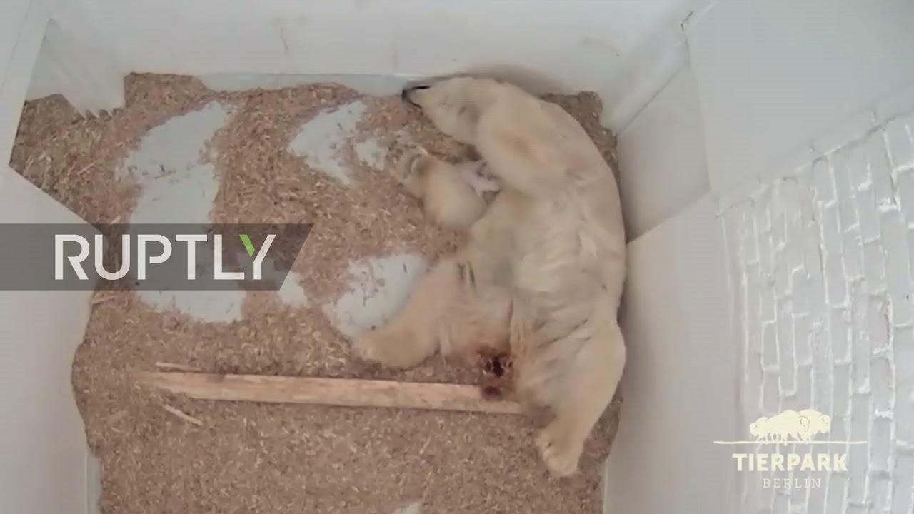 Germany: The BEAR necessities! Newborn polar bear drinks milk from mum's teat