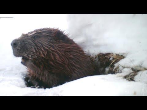 Как живут бобры зимой