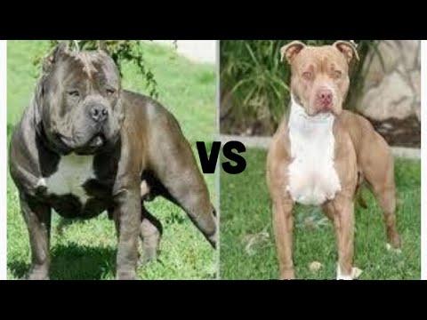 American Bully And Pitbull
