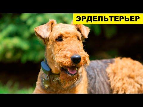 Собака Эрдельтерьер плюсы и минусы породы   Собаководство   Порода Эрдельтерьер