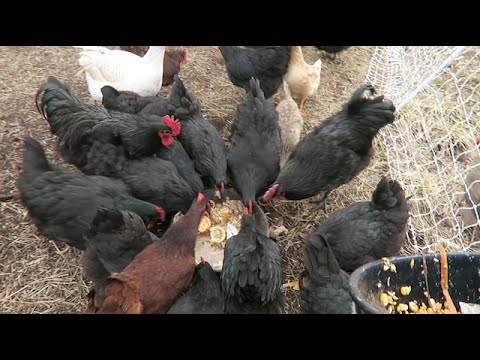 How I Feed 30 Chickens For 1 25 A Day Youtube
