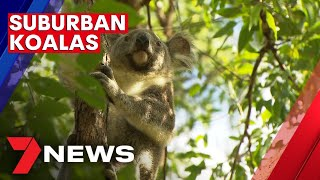 Koalas more at risk of being injured | 7NEWS
