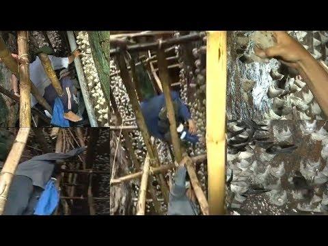 A Big Harvest of Bird's Nest - Panen Besar Sarang Burung Walet