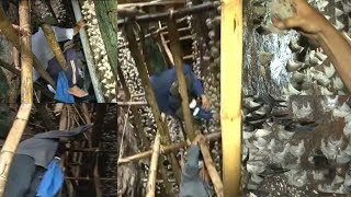 A Big Harvest of Bird's Nest - Panen Besar Sarang Burung Walet
