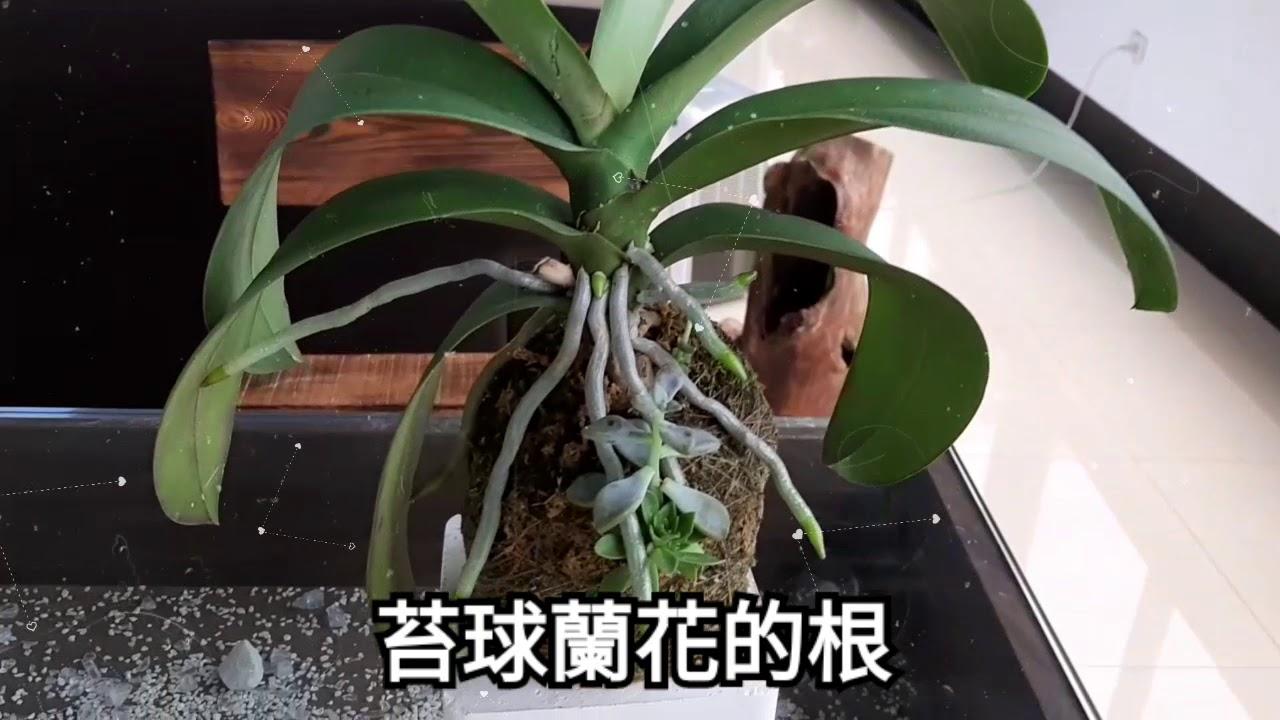 苔球蘭花 蘭花的根 蝴蝶蘭 ~鸚鵡的媽 - YouTube