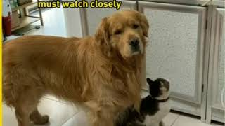 Dog and Cat Friendship | Golden Retriever Brother and Mischievous Sister Cat