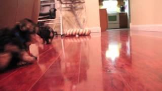 Yochon Puppies | Boston-buck-dino-smokey