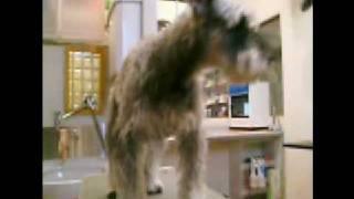 http://www.doggies.tv 今回も5mmのシュナウザーカットで凛々しくな...