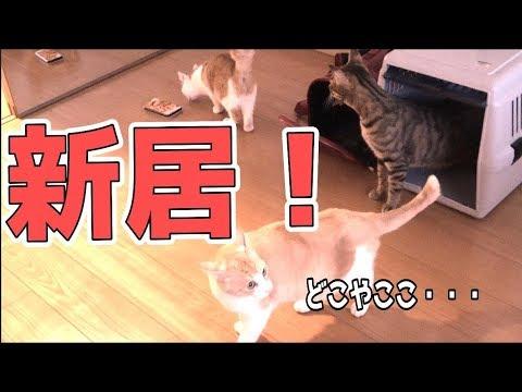 ついにお引越ししました!猫たちはビビるかと思いきや…【引越し2分で即慣れる】