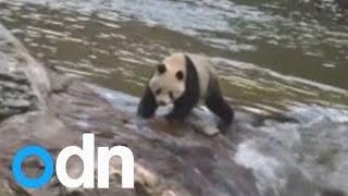 Wild giant panda spotted near China creek