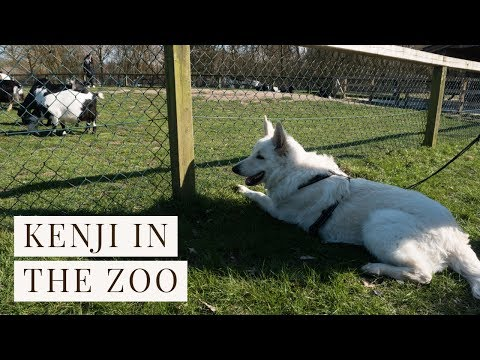 A puppy in the Zoo | White Swiss Shepherd | 10 months old