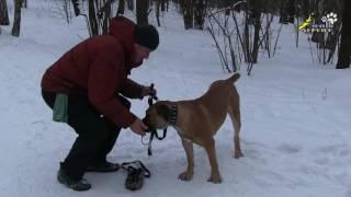 Обучение буксировке, бег по кругу, много здоровья нужно дрессировщикам собак(http://www.pes.su - для ОБСУЖДЕНИЙ и вопросов, и не забывайте ставить НРАВИТСЯ и ПОДПИСЫВАТЬСЯ. Часто в интернете..., 2017-01-26T18:12:54.000Z)