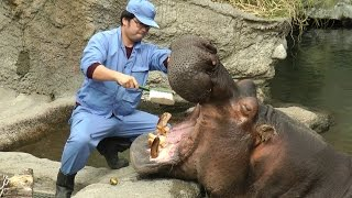 カバ歯磨きと「カバのえさやりタイム」の様子です。天王寺動物園には現...